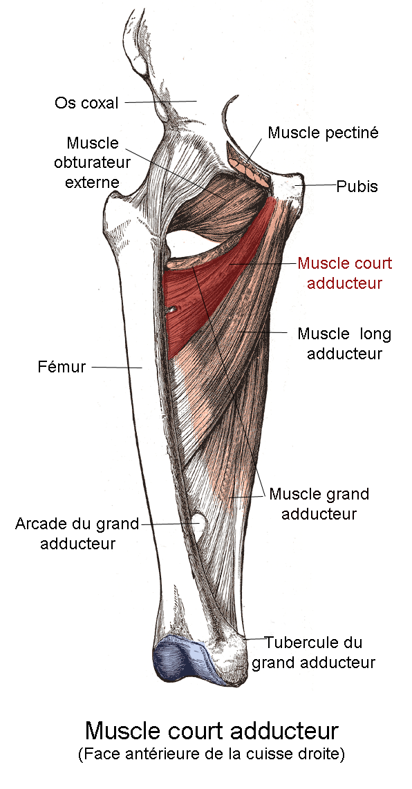 File:Muscle court adducteur.png - Wikimedia Commons