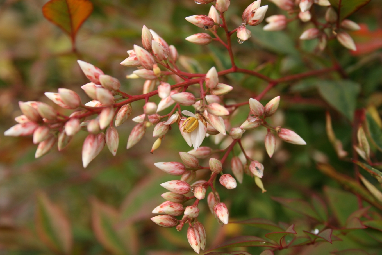 File Nandina Domestica Flowers Jpg Wikimedia Commons
