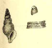 <i>Nepotilla mimica</i> Species of gastropod