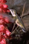 Np-calliopehummingbird