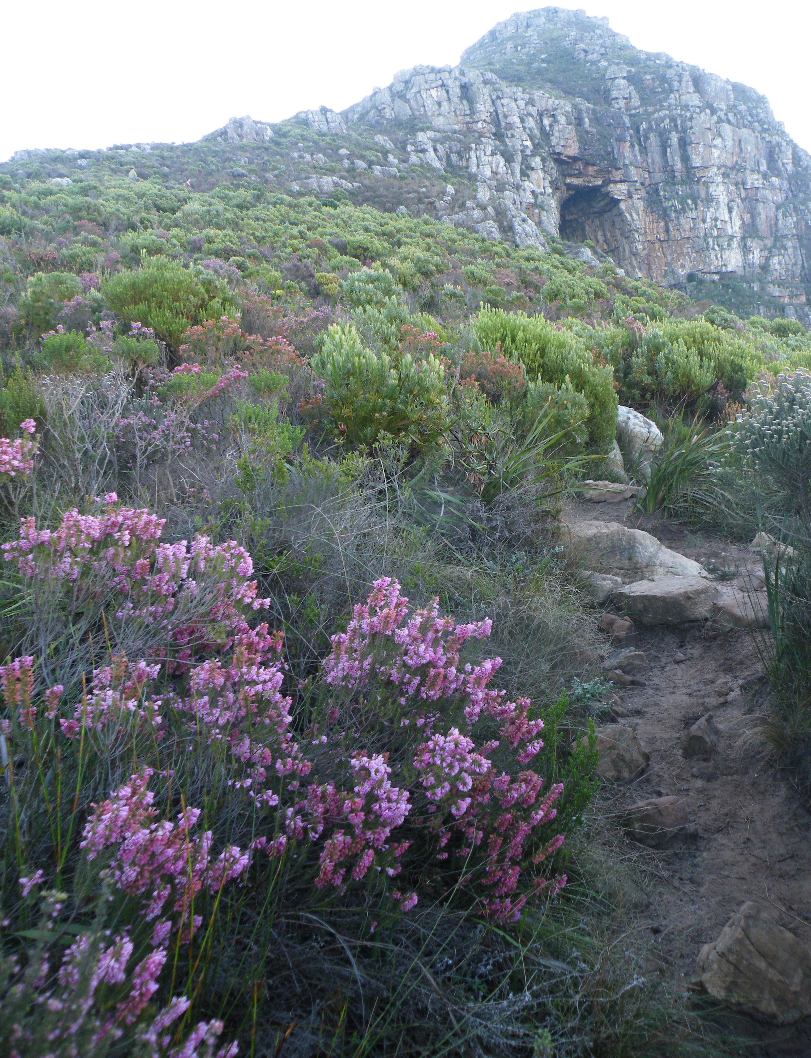 File:Olifants Oog cave Constantia Cape Town - erica fynbos.jpgconstantia town