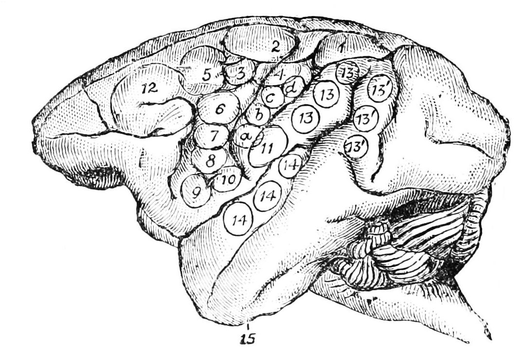 PSM V27 D081 Lateral aspect of monkey brain.jpg