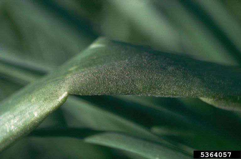 Peronospora-destructor op uien