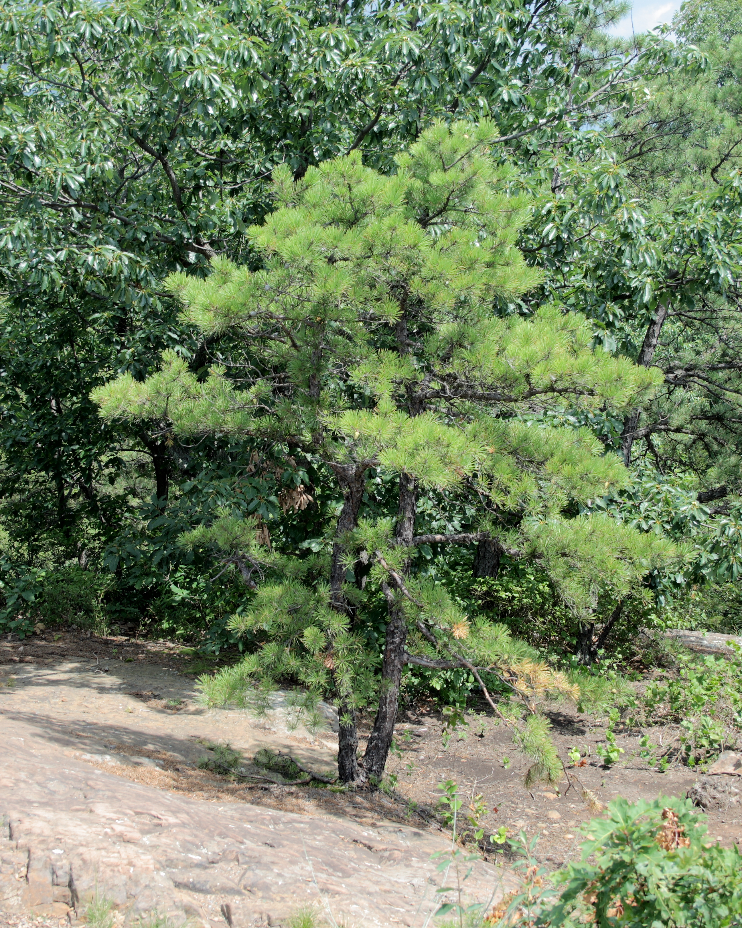 file pitch pine at pinnacle rock