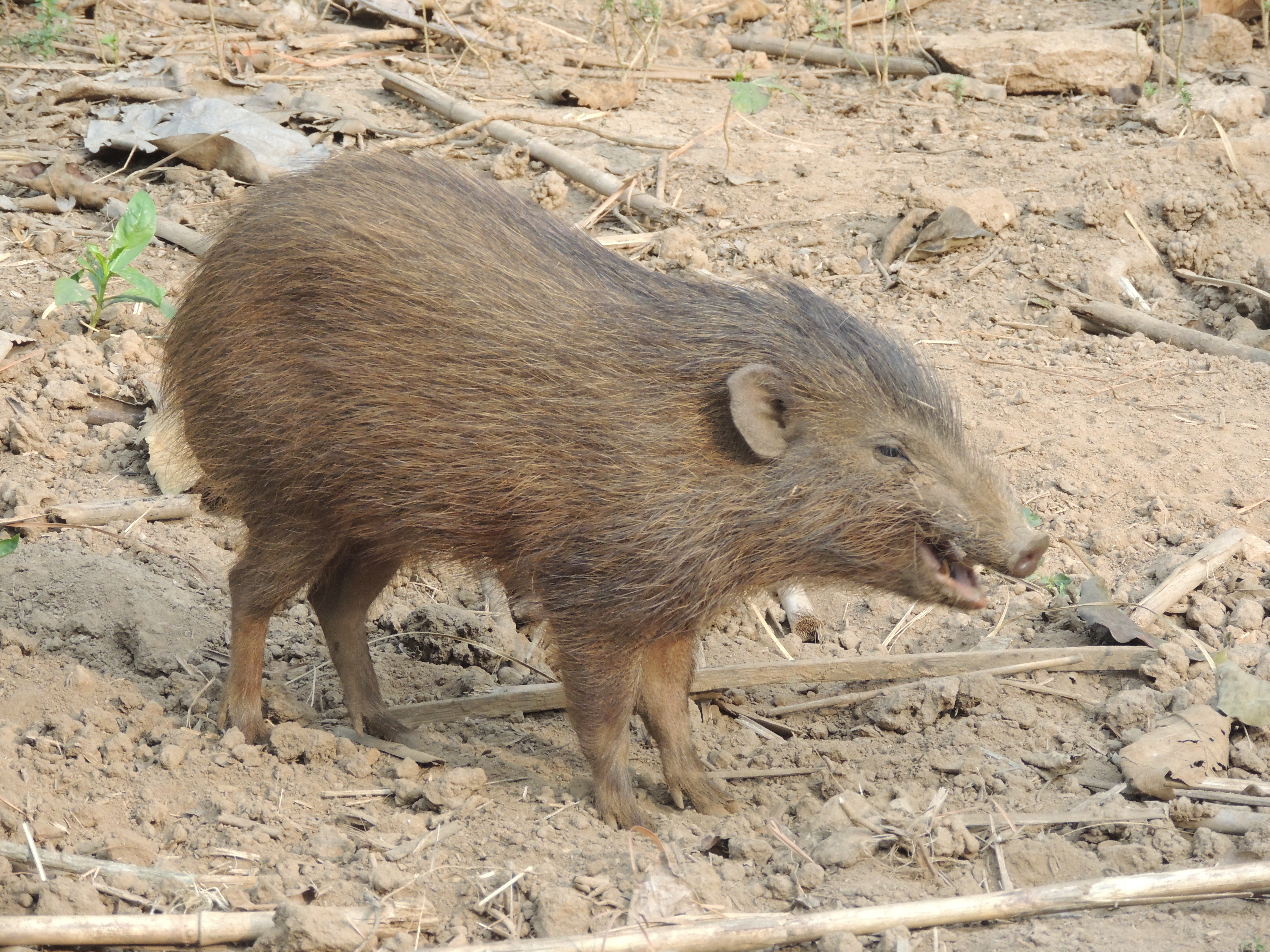 Pygmy hog - Wikipedia