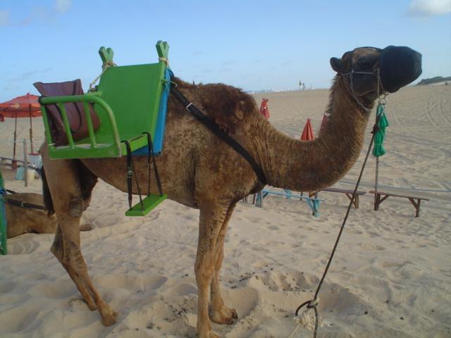 Plik:Saddled camel on the beach.JPG