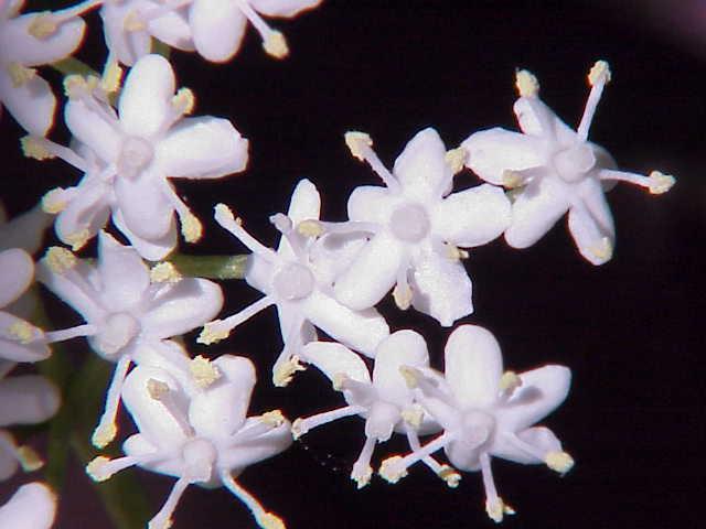 Sambucus nigra0