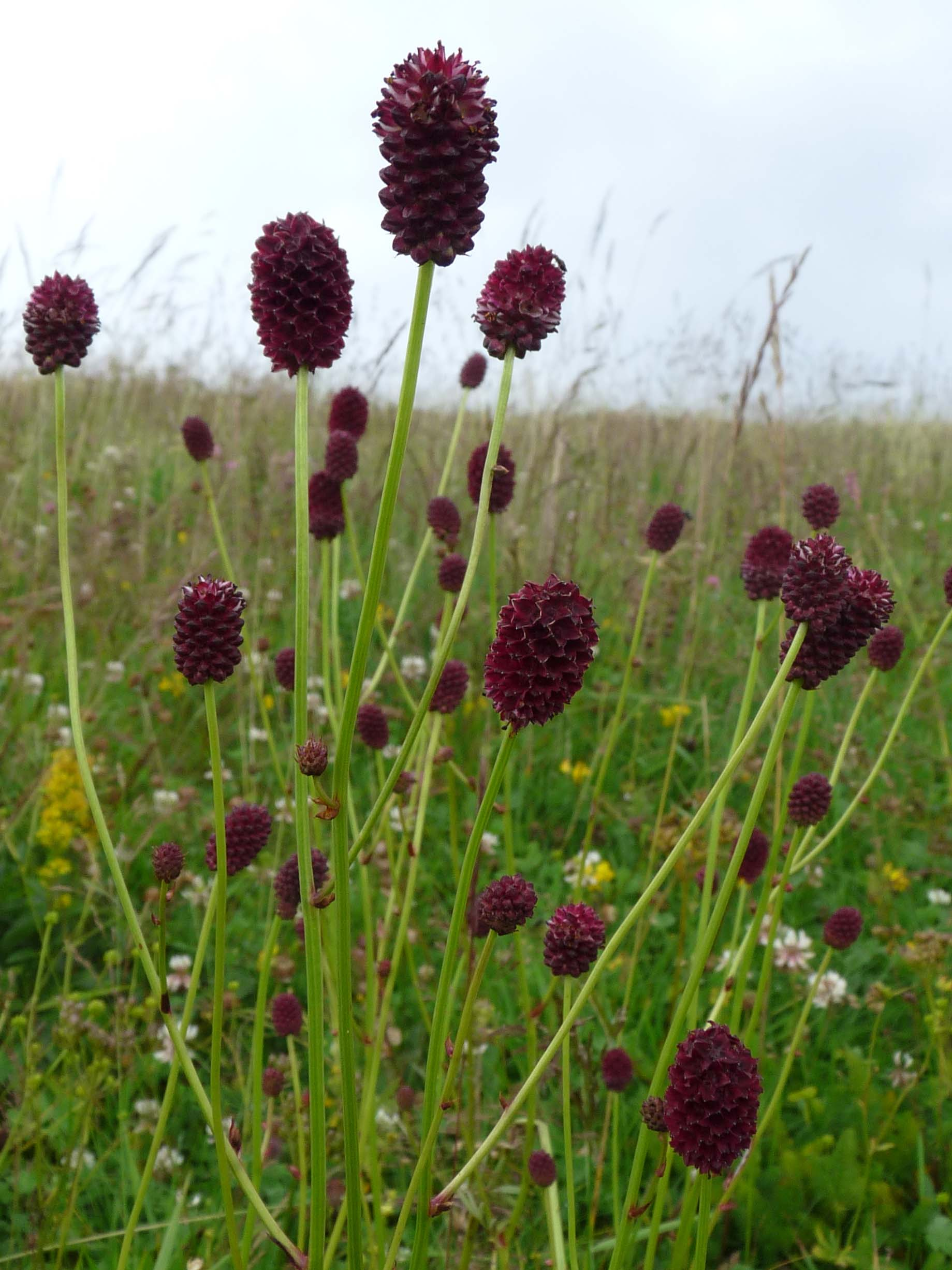 Sanguisorba burnet for Sanguisorba officinalis red thunder