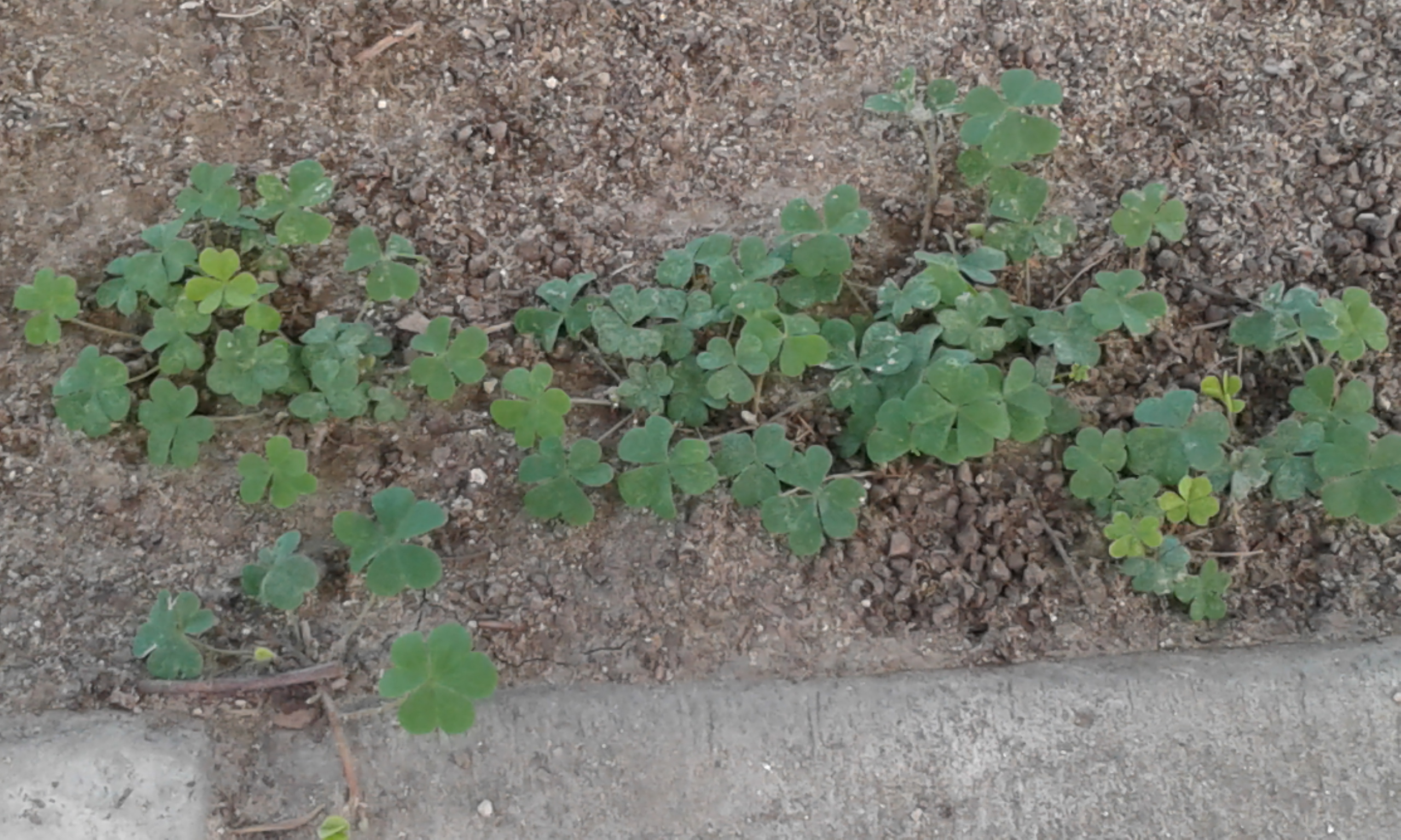 https://upload.wikimedia.org/wikipedia/commons/8/81/Shamrock_leaves.jpg