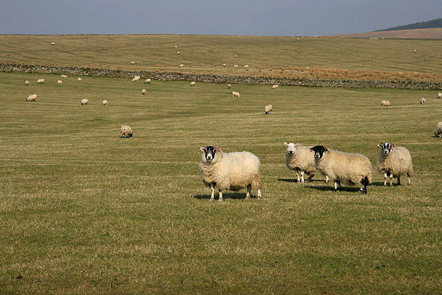 File:Sheep at Larriston Rig - geograph.org.uk - 1212844.jpg