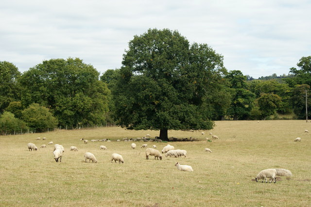 Sheep in Norbury Park, Surrey - geograph.org.uk - 1504105