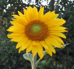 meaning of heliopsis