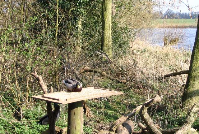 Table-ready duck - geograph.org.uk - 378186