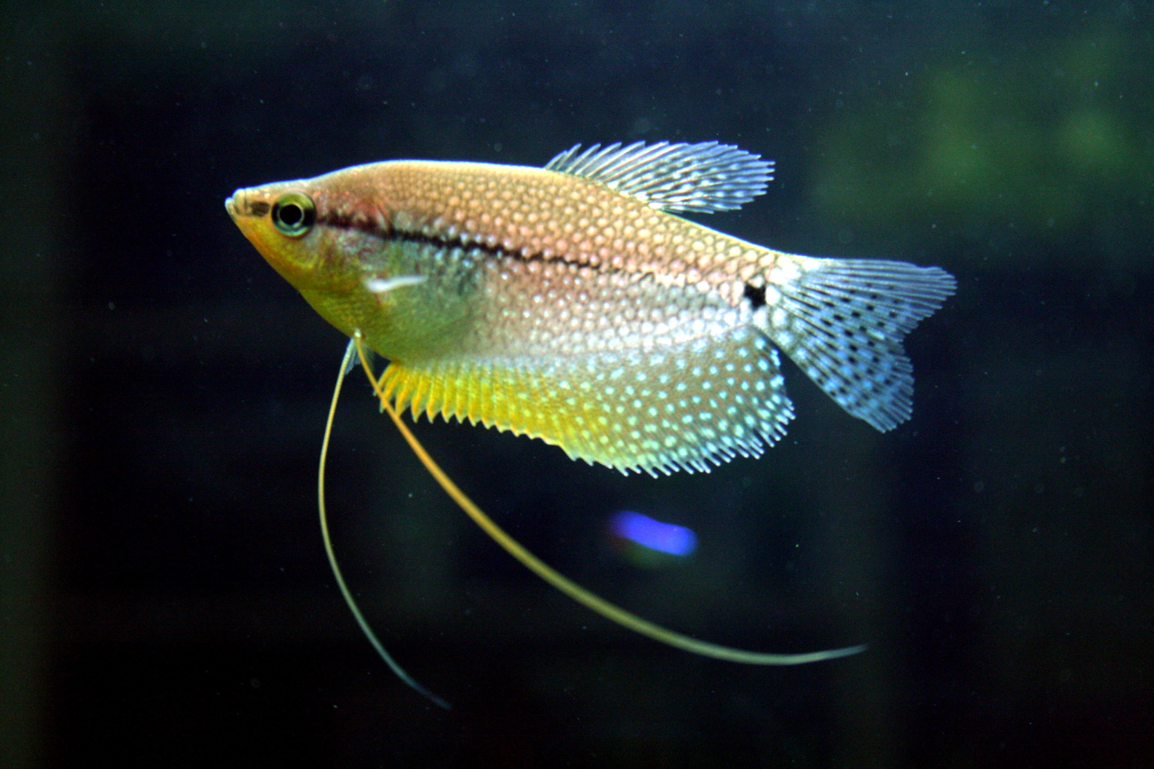 Рыба гурами картинка