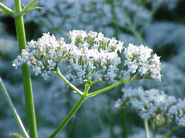 Valeriana officinalis1