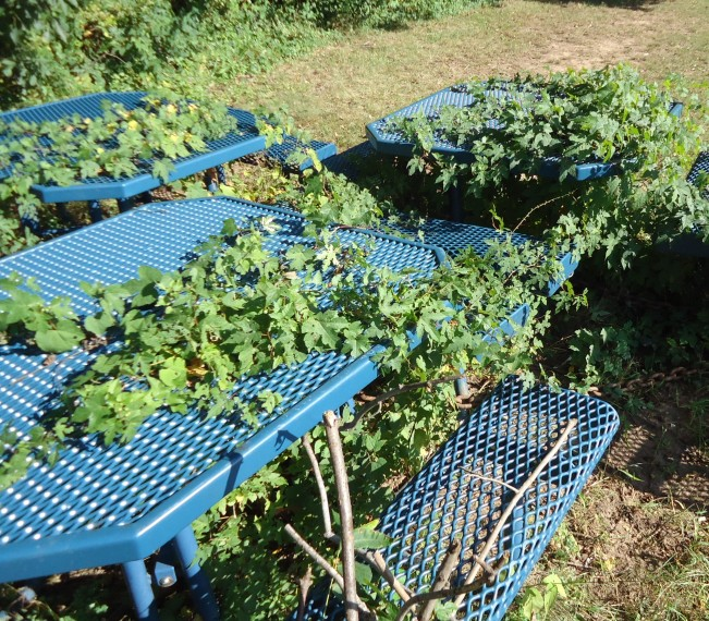 File:Vines growing through outdoor picnic tables near a school in ...