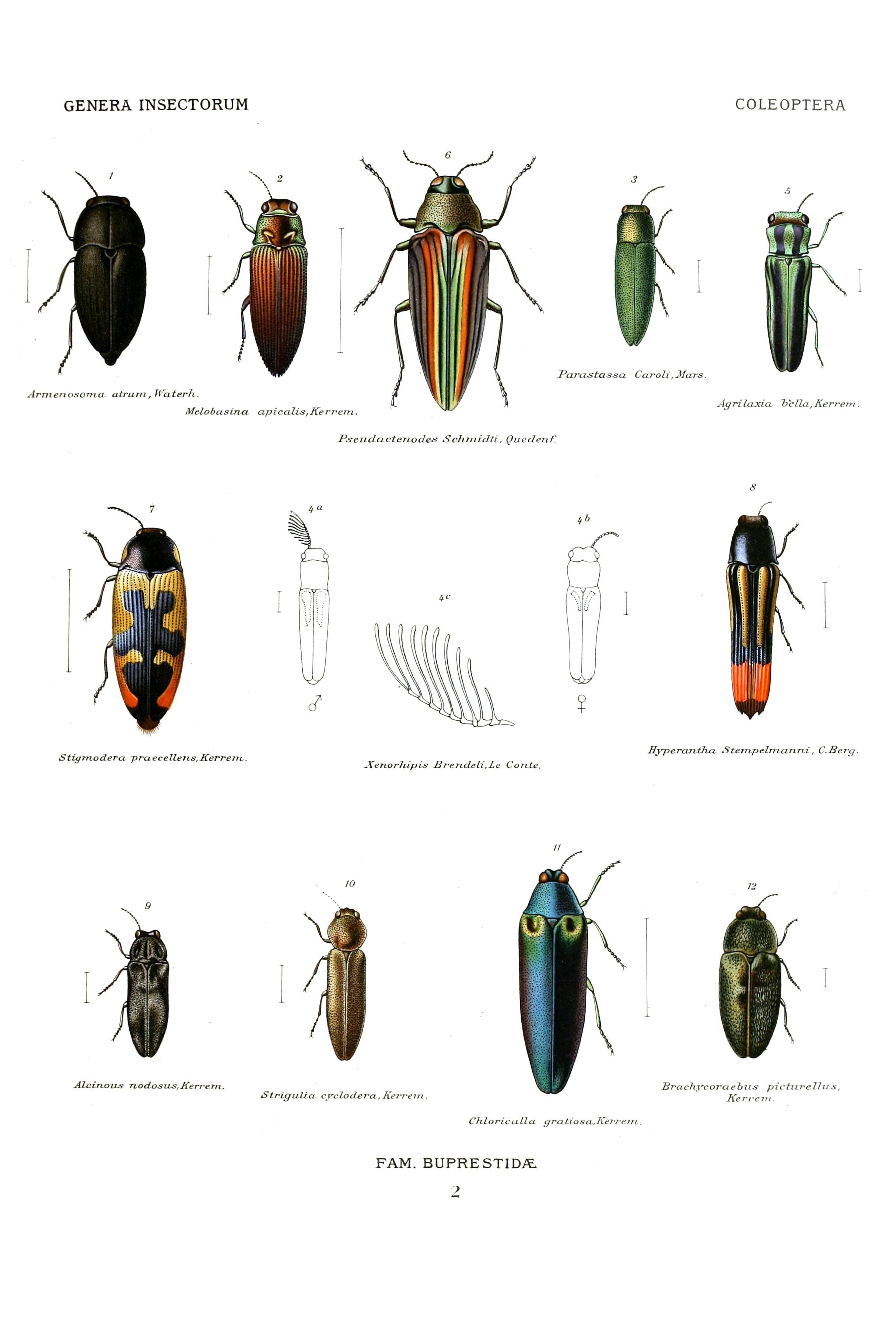 Buprestidae - Wikipedia