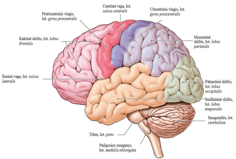 Pailgosios smegenys