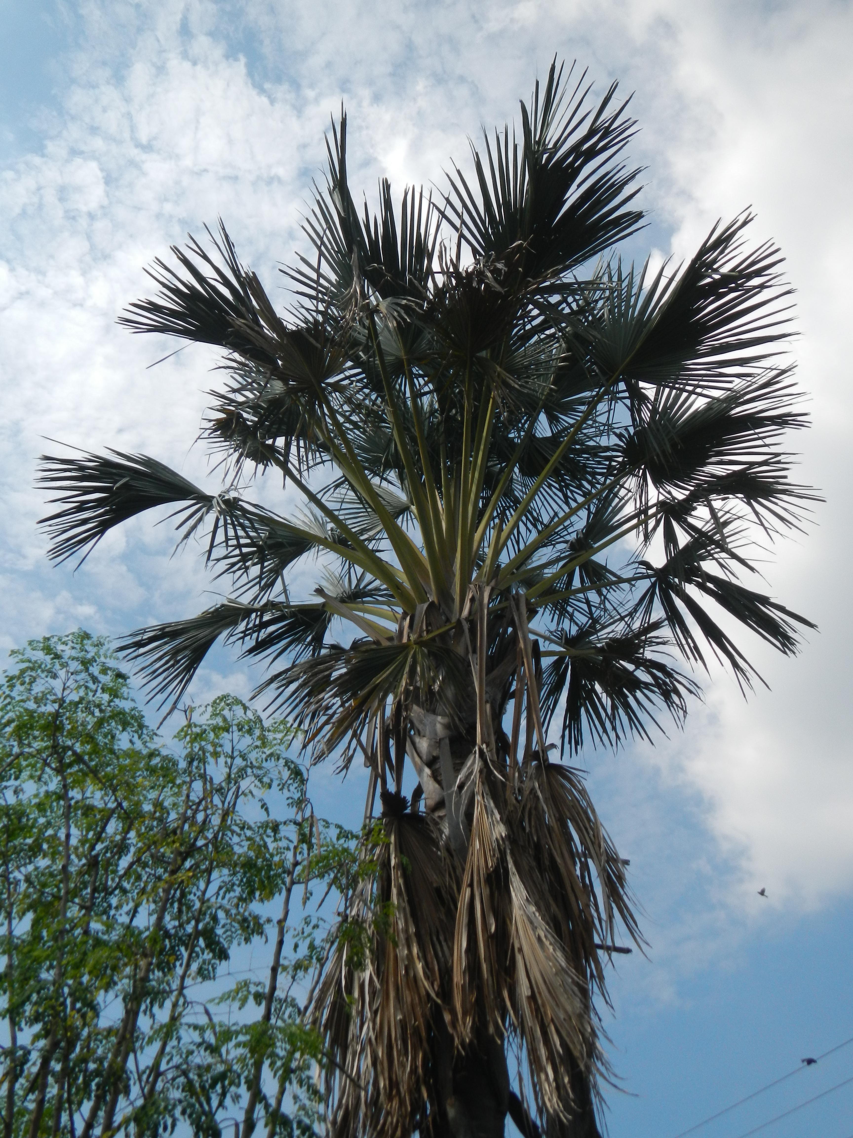 file 06211jfmayapyap sur palms dalampang buliran cabanatuan ecijafvf