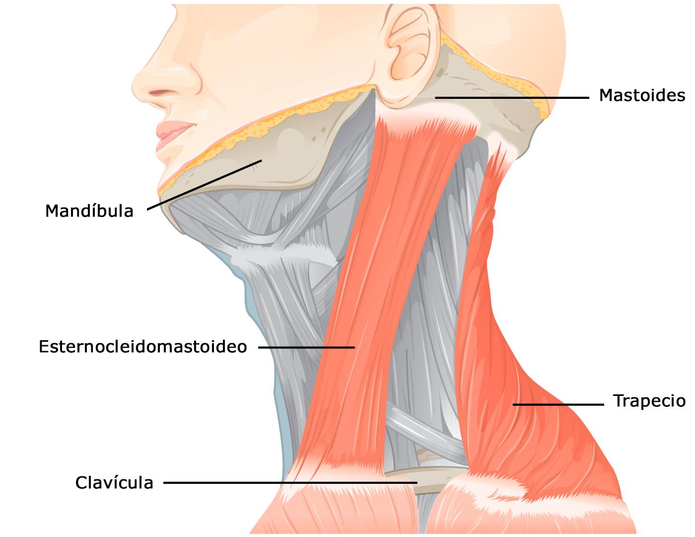 musculos basicos del cuerpo