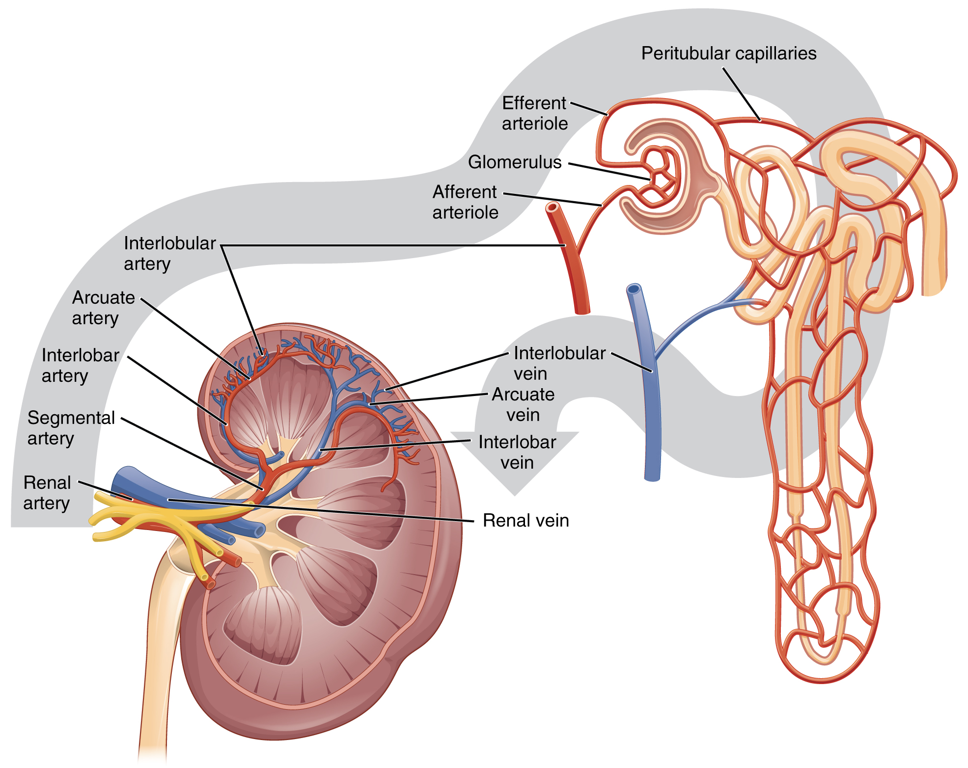 File:2612 Blood Flow in the Kidneys.jpg - Wikimedia Commons