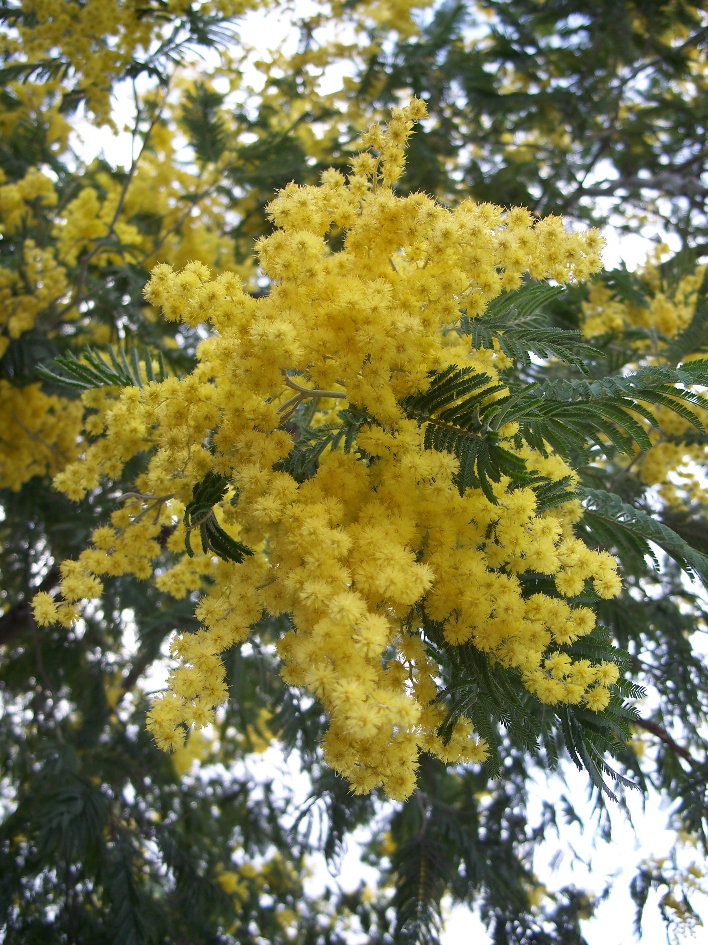 A Verdant Life: Pantone Color for 2009: Mimosa