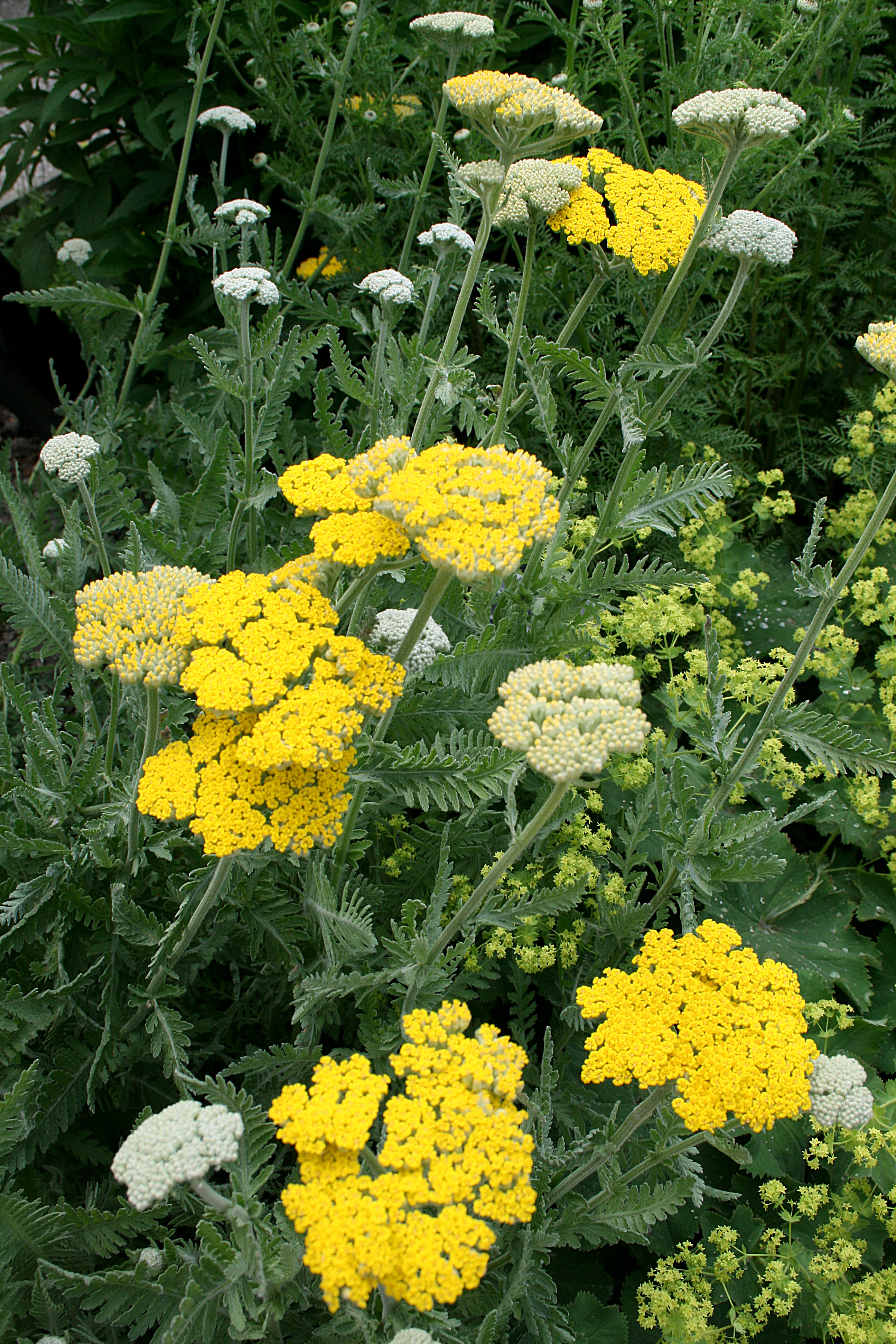 Image result for yarrow coronation gold