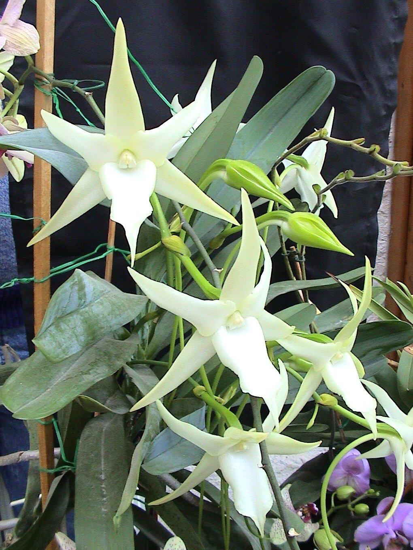 Plantes étonnantes (ou belles ou intéressantes ou marrantes ou ce que vous voulez) - Page 2 Angraecum_sesquipedale02