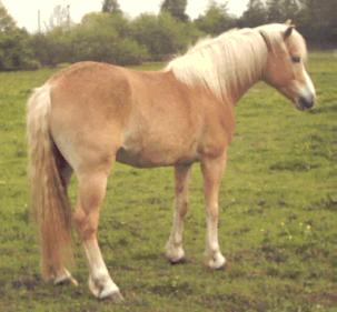 Arabian-Haflinger - Horse Scanner