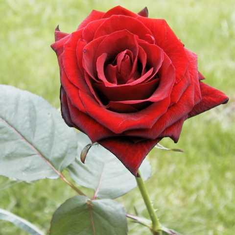 Resultado de imagen de rosa baccara