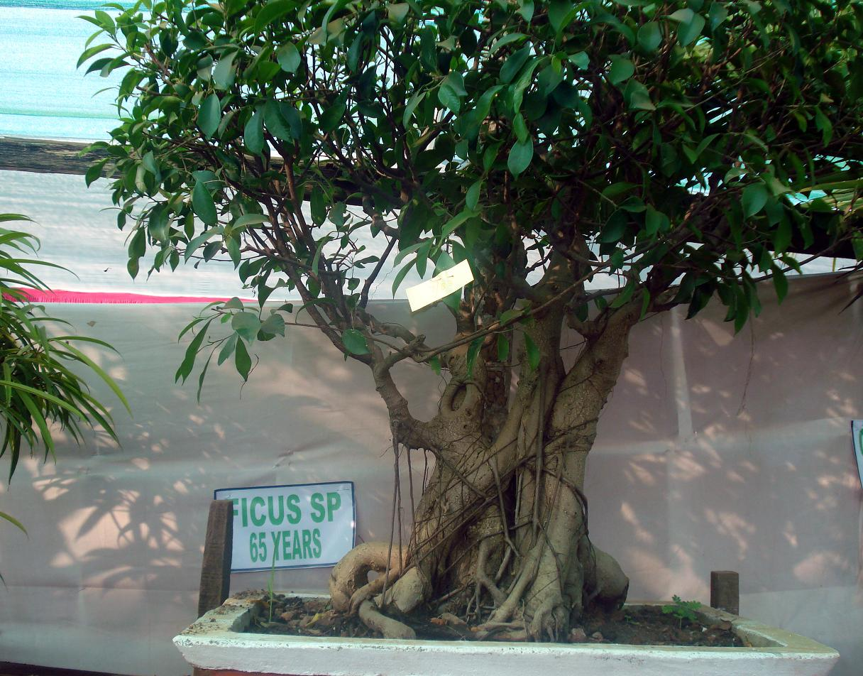 File Bonsai Tree Ficus Jpg Wikimedia Commons
