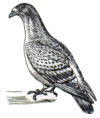 Fitxer:Carriage Pigeon (PSF).jpg