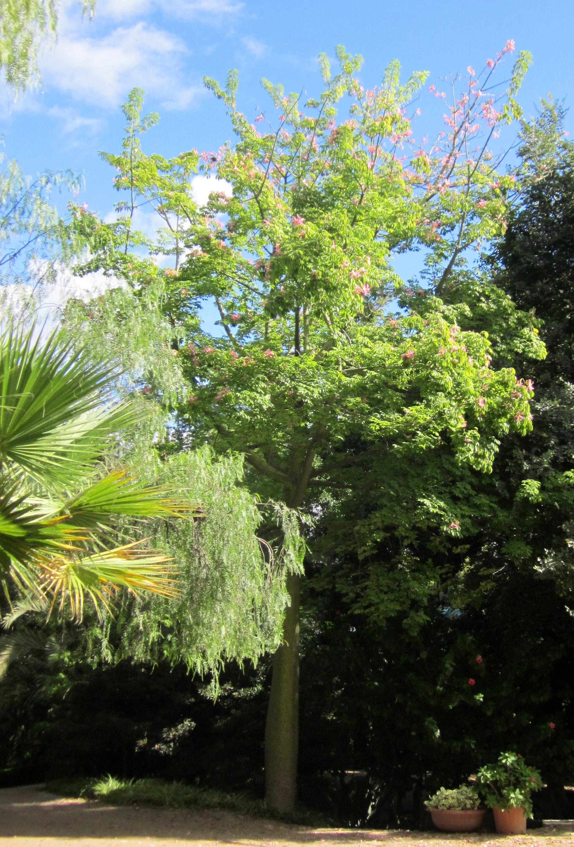 File ceiba pubiflora 1 jardin botanico for Bodas jardin botanico malaga