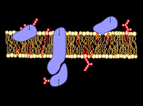 Cell membrane scheme