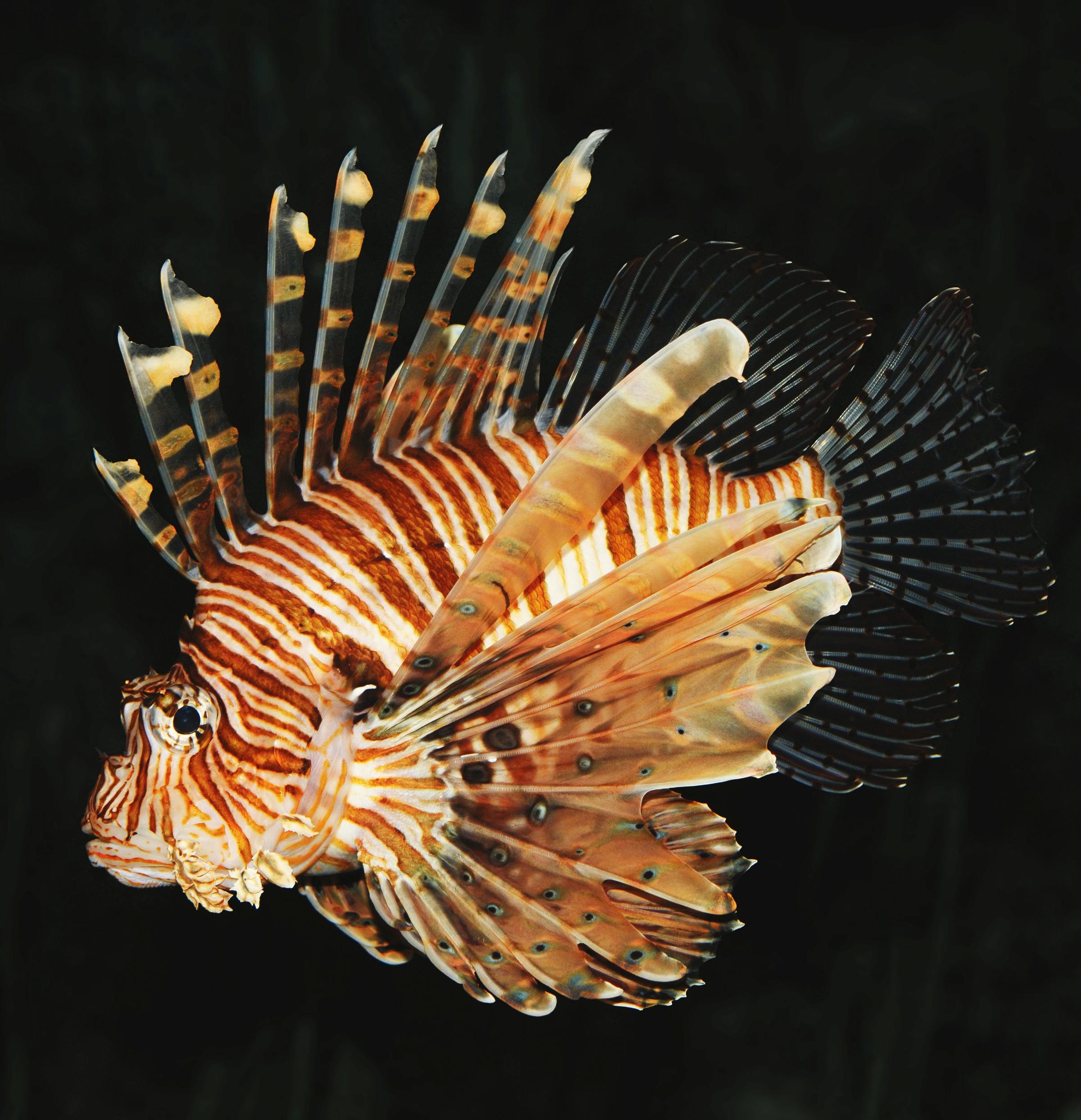 фото зебра рыба