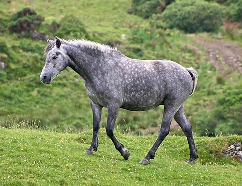 Robe grise du cheval — Wikipédia