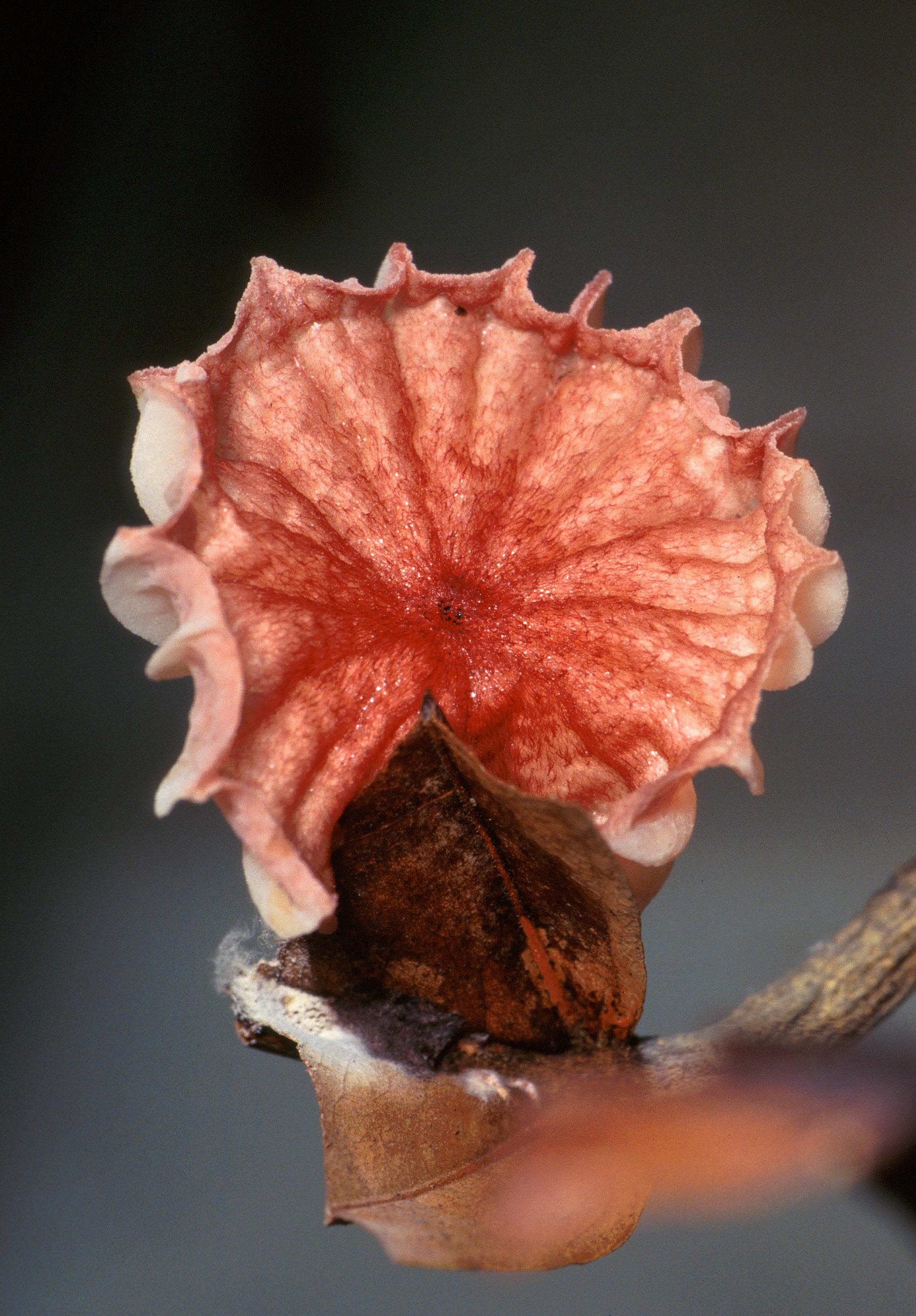 Crinipellis_perniciosa_mushroom