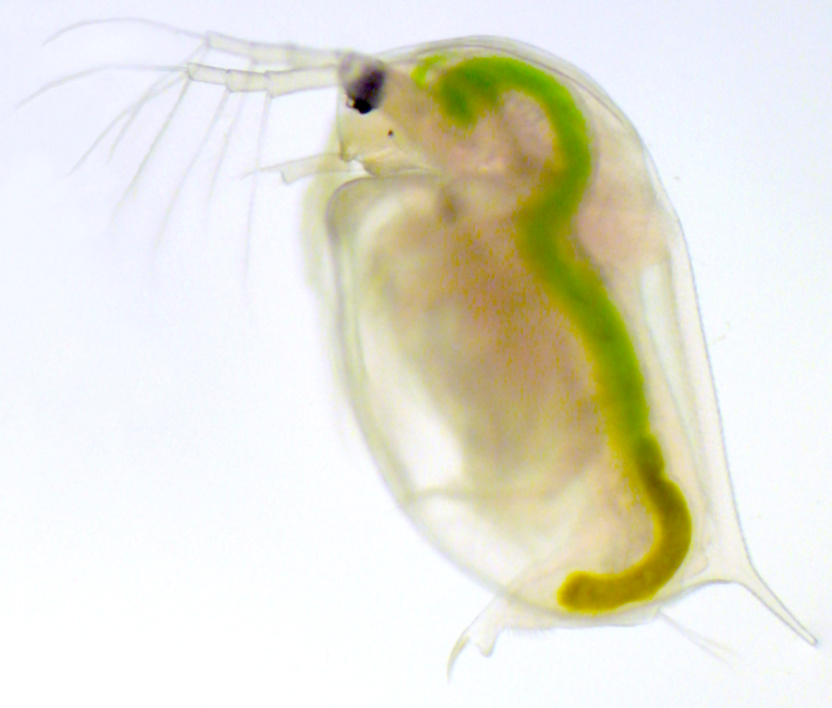 daphnia magna Daphnia magna is a small planktonic crustacean (adult length 15–5 mm) that  belongs to the subclass phyllopoda it inhabits a variety of freshwater.