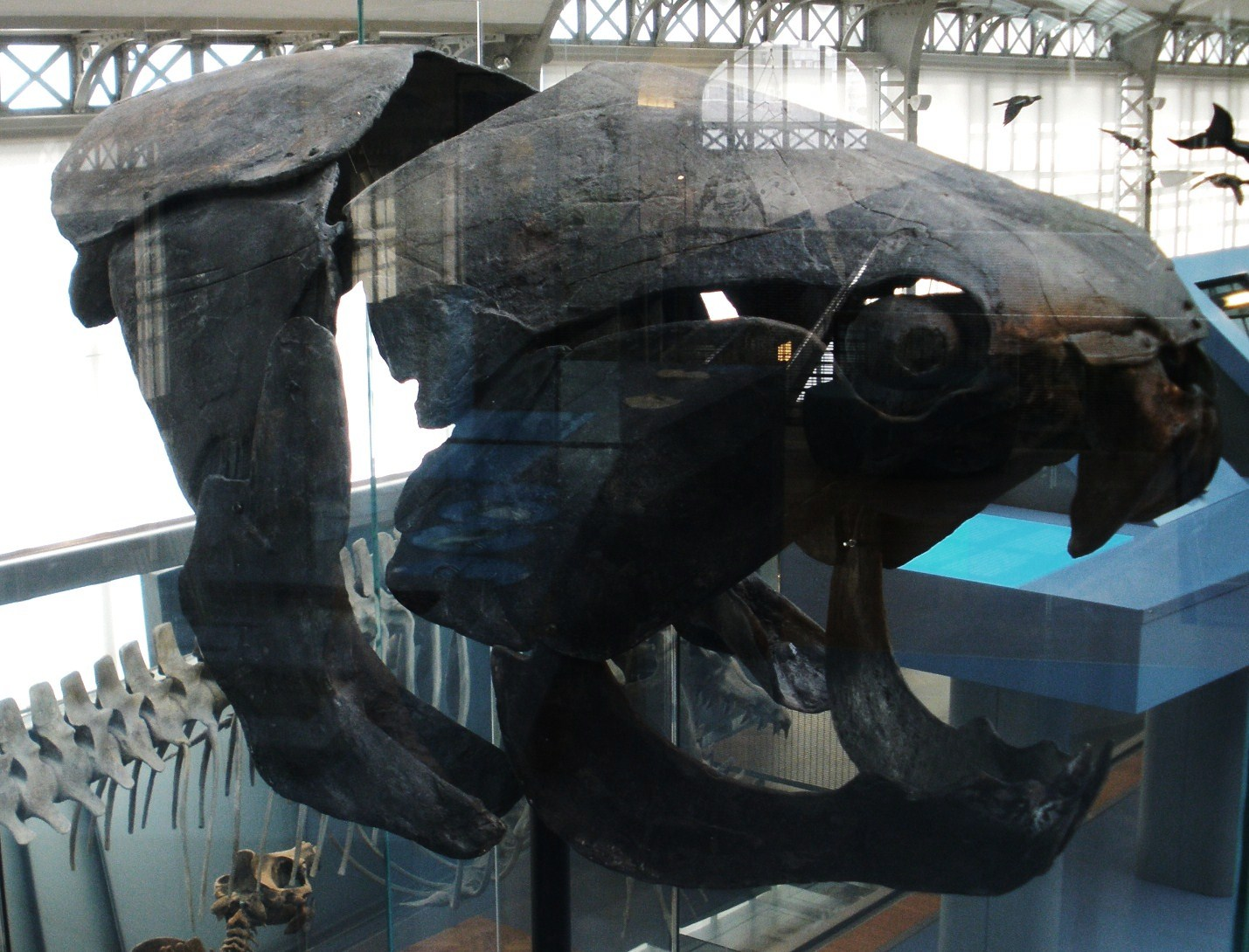 Dunkleosteus Natural History Museum