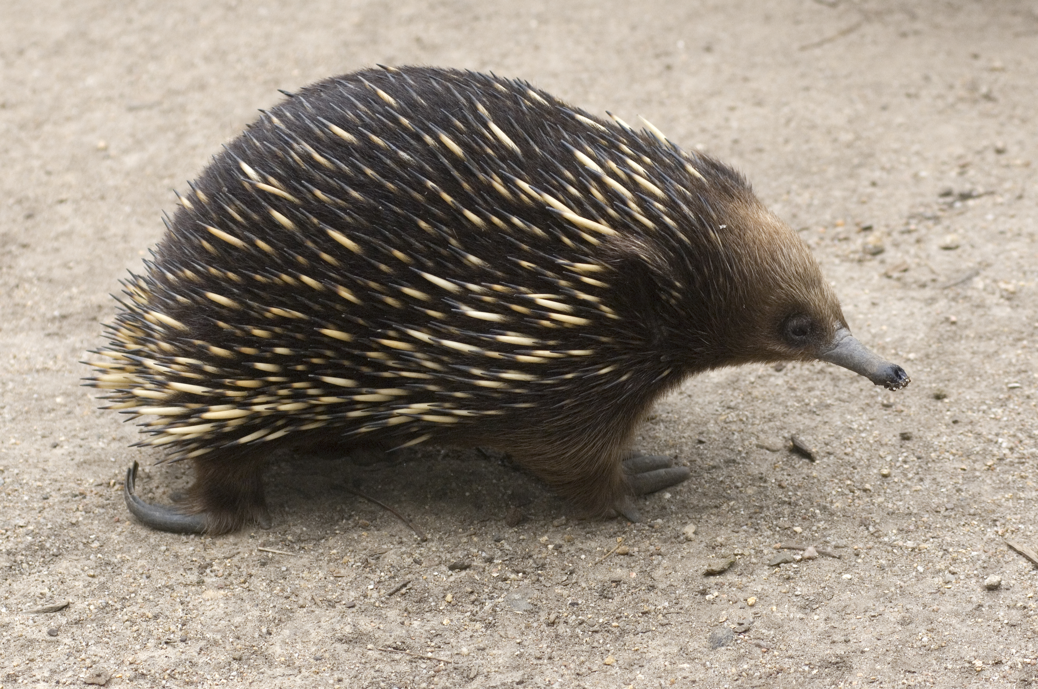 file echidna in the karawatha forest   radford     wikimedia commons