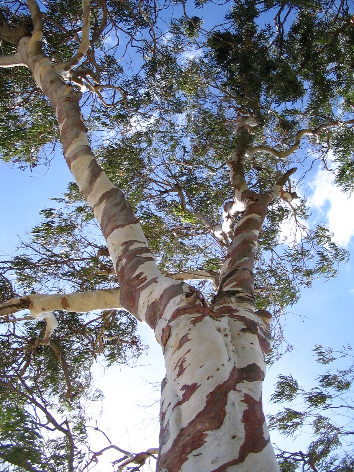 Is Eucalyptus Bark Bad For Dogs