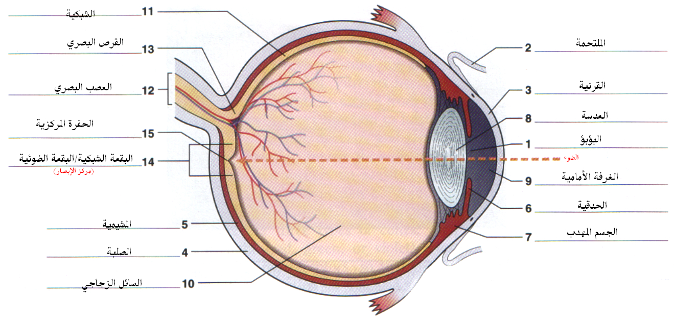 File:Eye anatomy.jpg - Wikimedia Commons