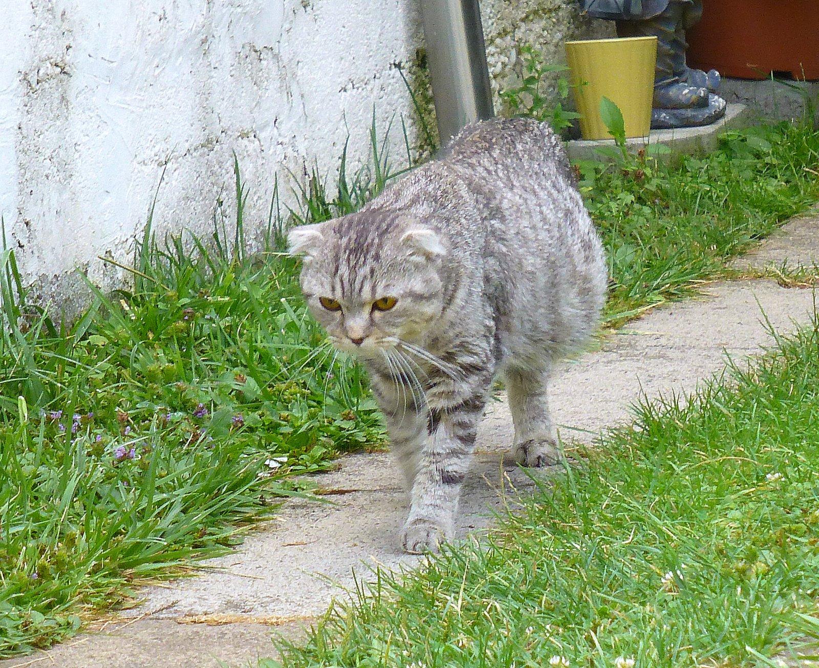 peritonite infectieuse feline