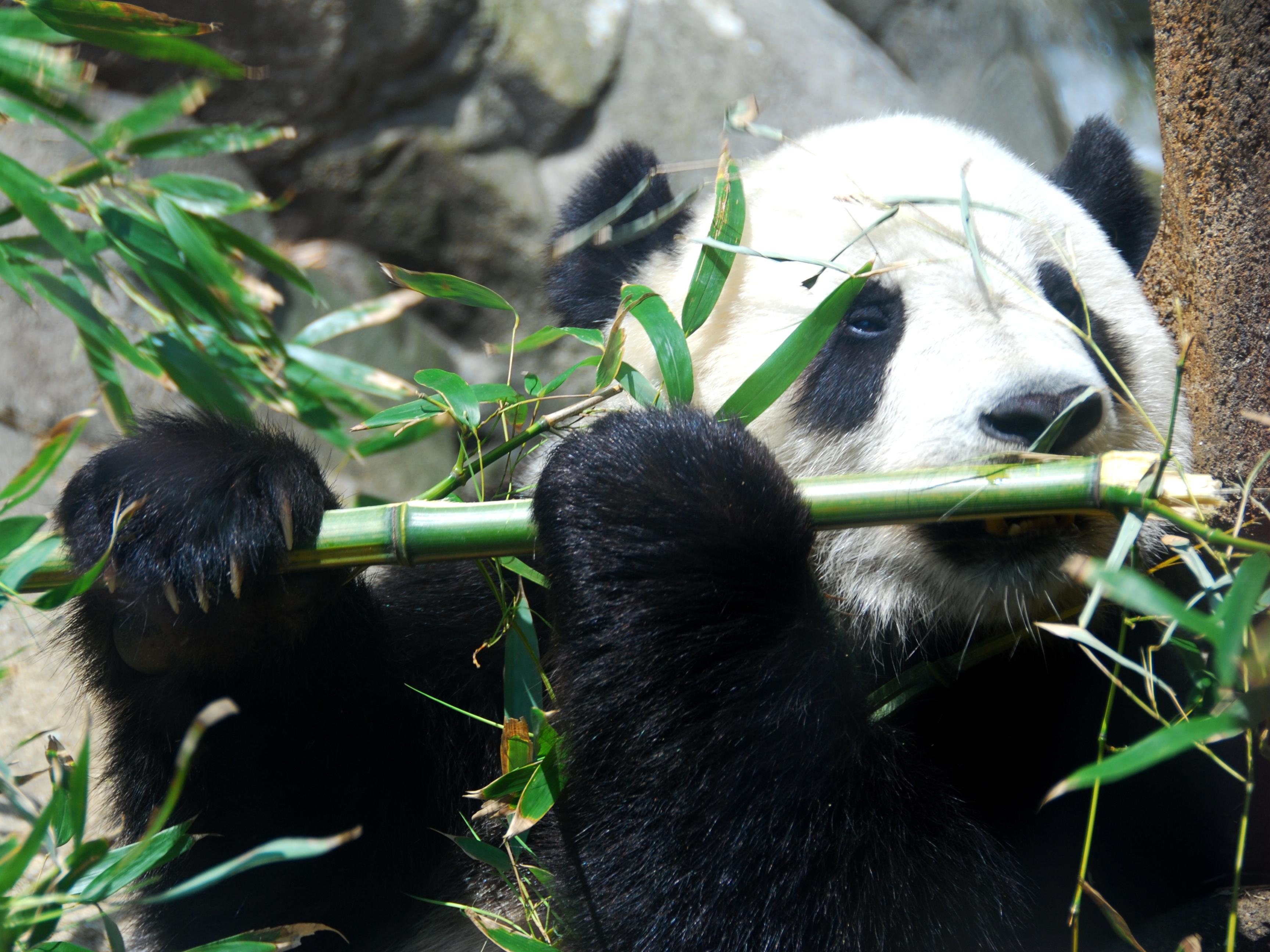 File:Giant Panda Tai Shan.JPG - Wikipedia