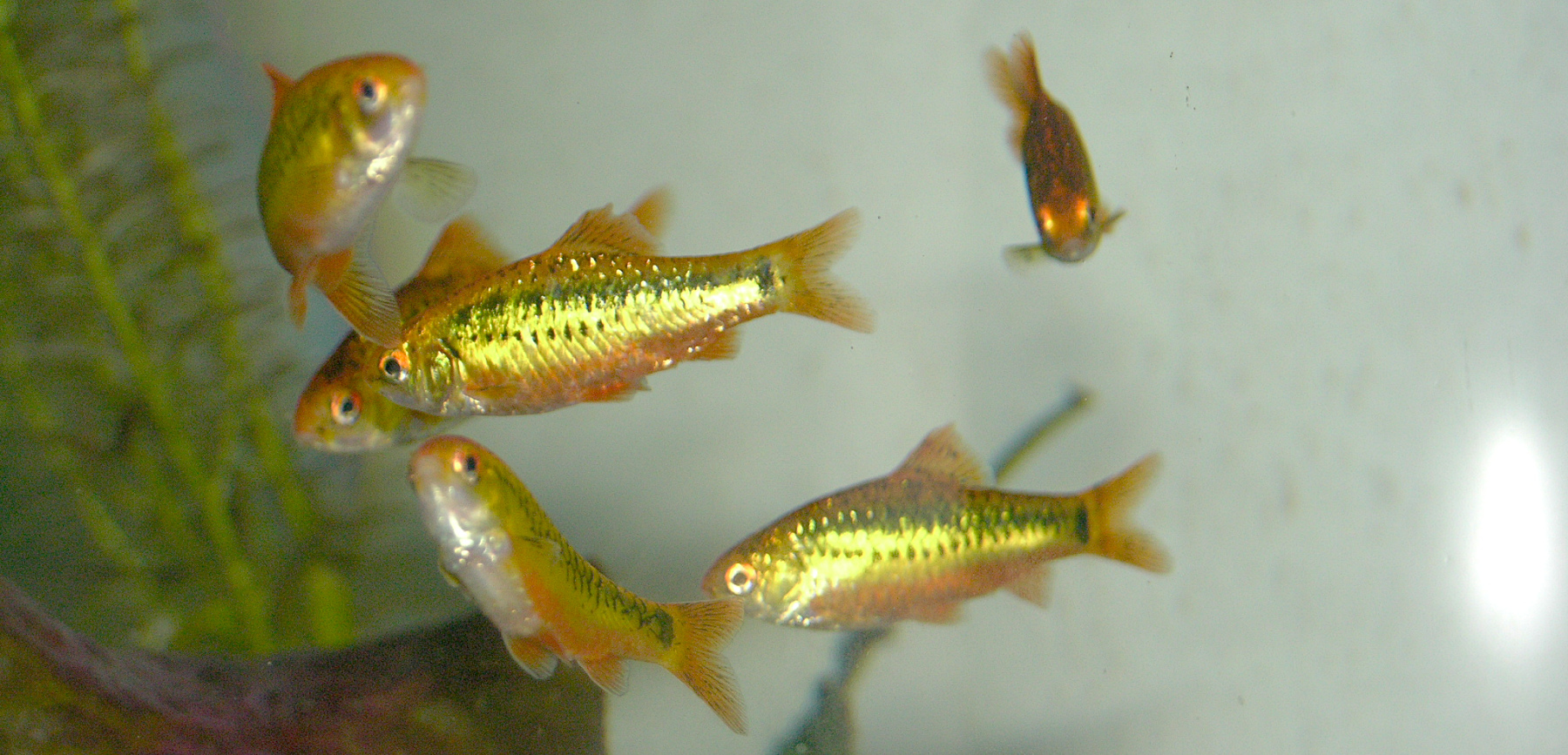 More so than goldfish themselves, Gold Barbs will add a true golden color to a goldfish tank