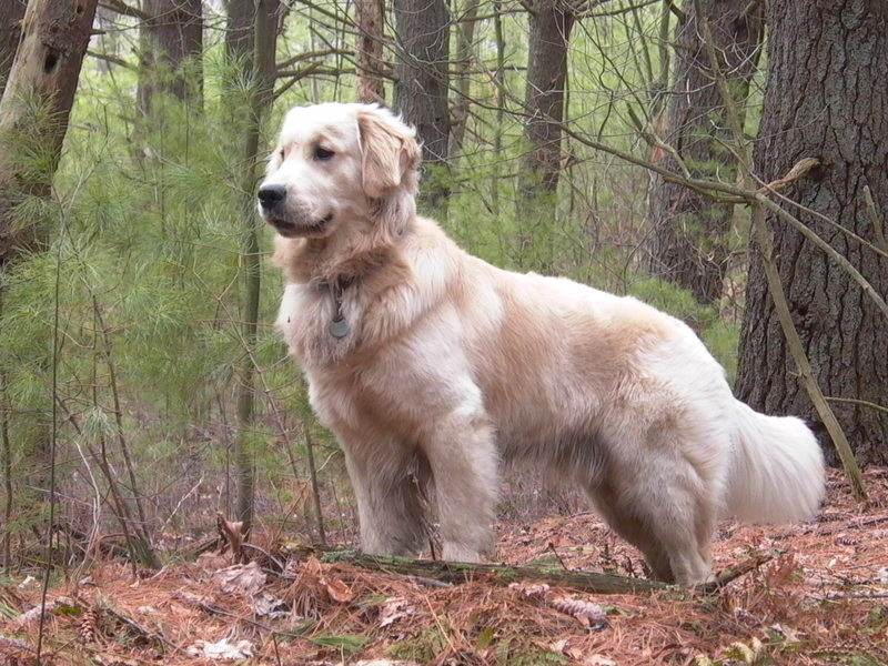 hvid golden retriever