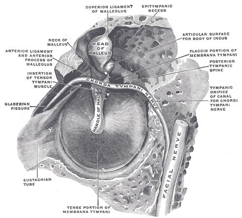 petrotympanic fissure - wikiwand, Human Body
