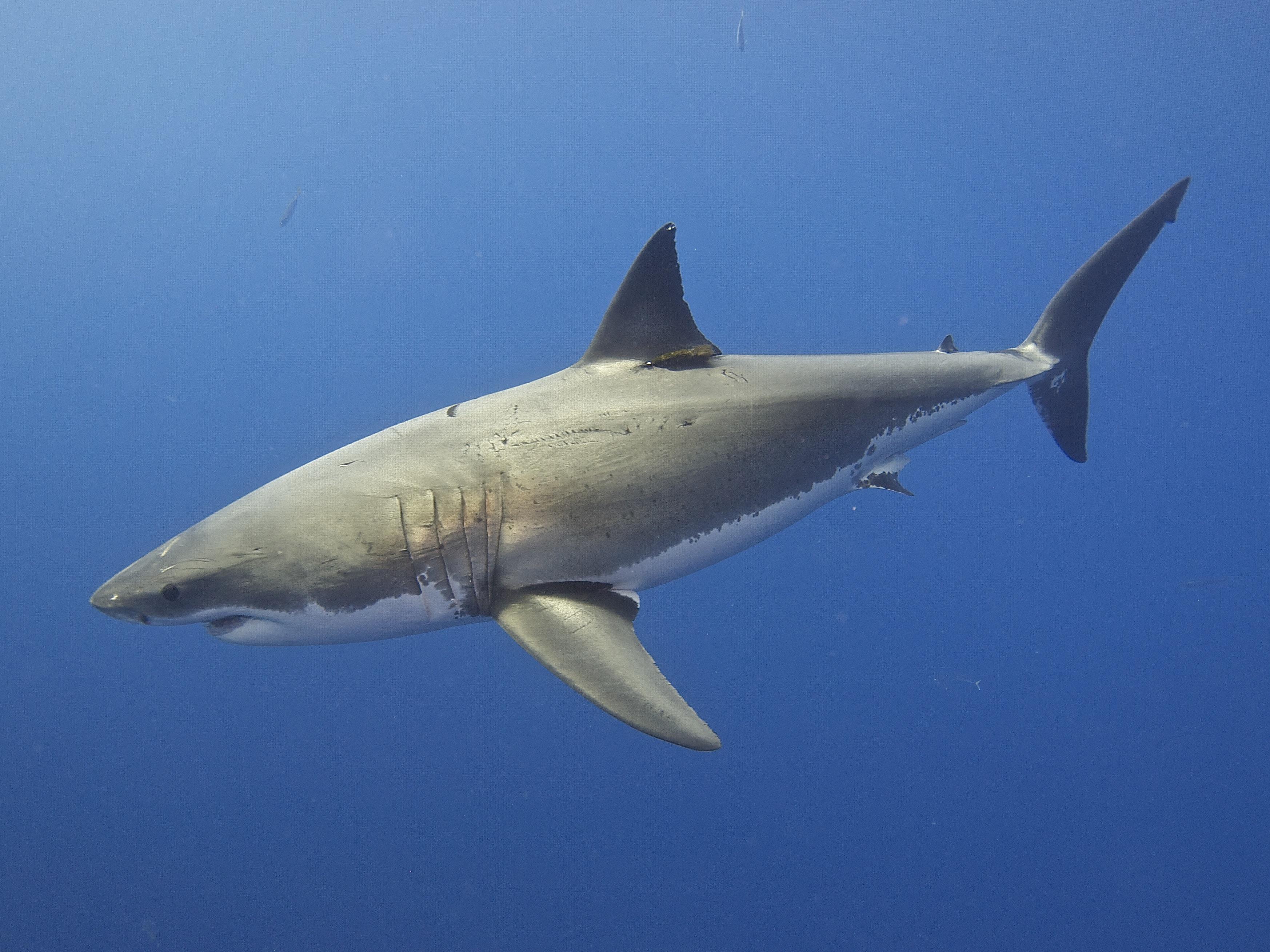 filegreat white shark 14730723649jpg wikimedia commons