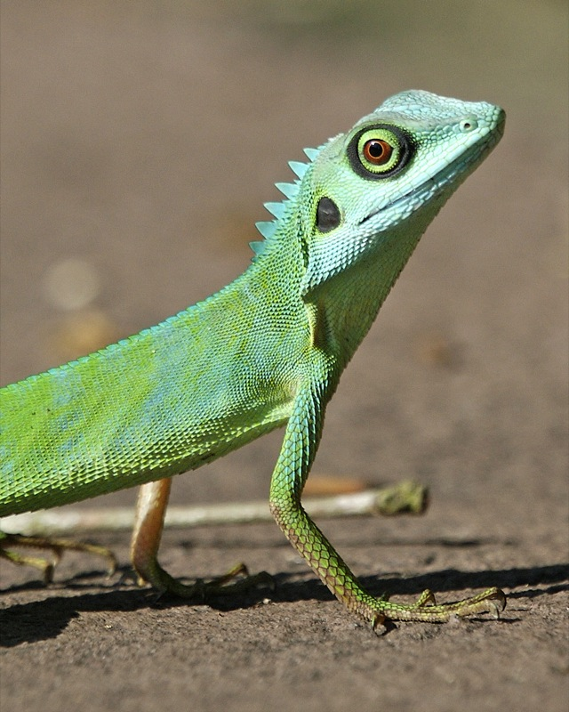 File:Green Crested Lizard (Bronchocela cristatella ...