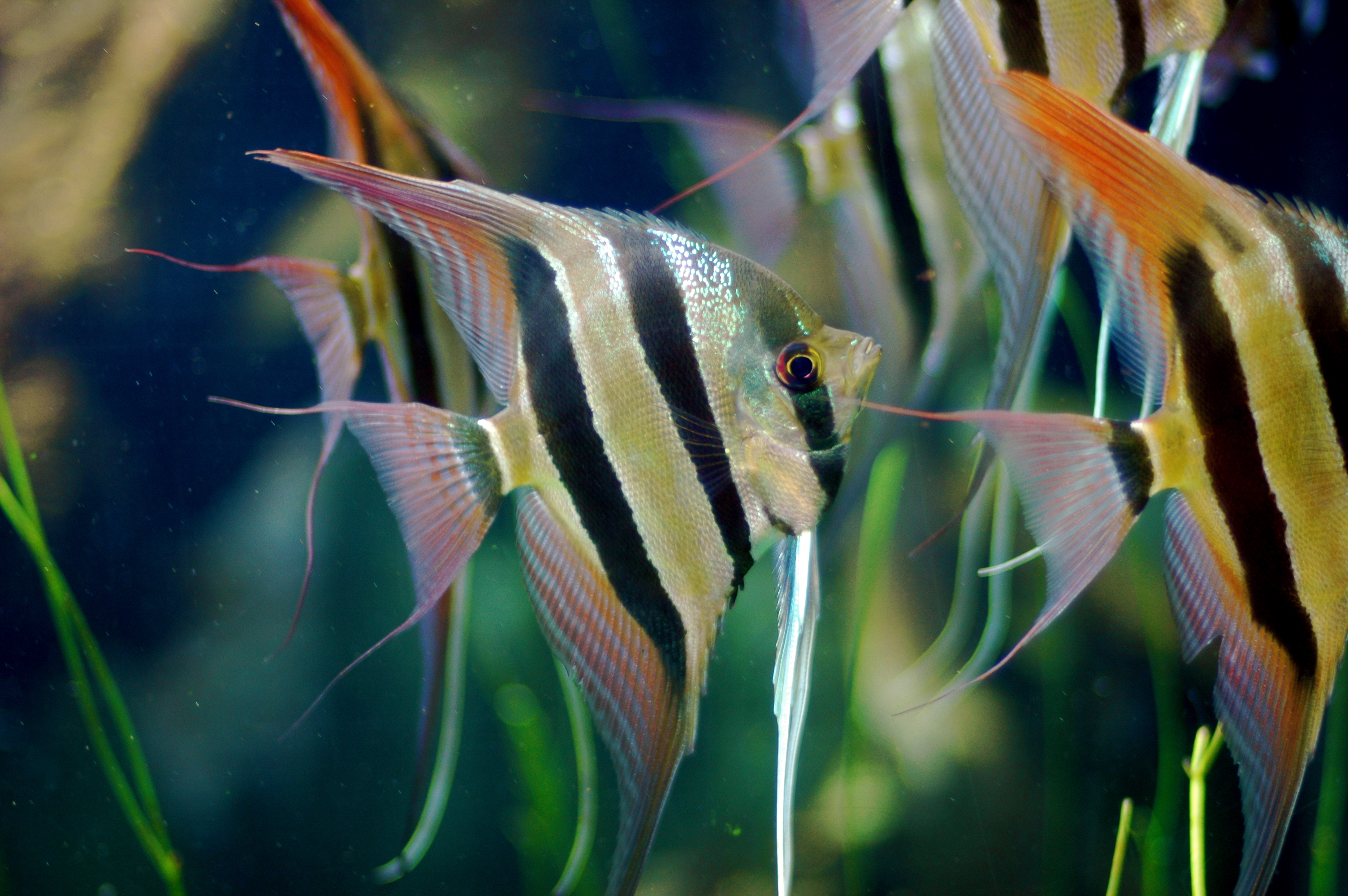 Group_of_Pterophyllum_Altum.jpg